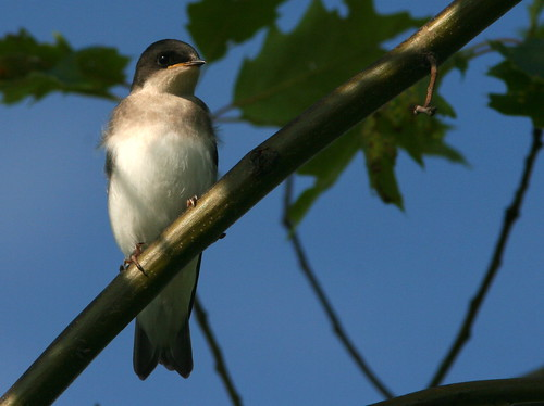 Tree Swallow Fledgling 20090622