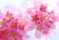 SAKURA - Sparkle (*Sakura*) Tags: pink flower macro japan tokyo spring blossom explore  cherryblossom sakura bud    sakura