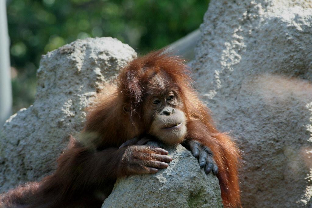 Sumatran Orangutan Baby