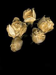 Dead white roses by Jeremy Cherfas, on Flickr