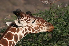 Reticulated Giraffe up close (Bill D114 (Off for a few days)) Tags: mywinners impressedbeauty superbmasterpiece theunforgettablepictures theperfectphotographer