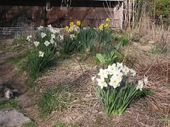 Daffodils/Narcissus