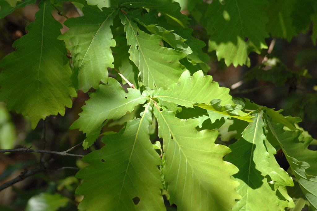 Quercus dentata ? daimyo oak?KOB 7119