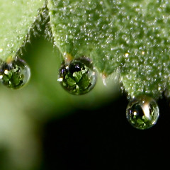 On her eyelashes (Gordana AM) Tags: morning ontario canada macro reflection verde green nature closeup garden outdoors leaf tears vert pearls dew windsor naturesfinest ladysmantle zeleno mywinners dewcup diamondclassphotographer flickrdiamond lepiafgeo waterdropsmacros dropcollage