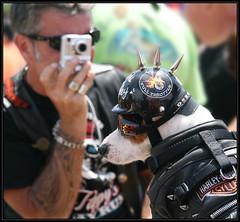 Haley's Profile... (Digibug2) Tags: vacation dog pet myrtlebeach helmet foxterrier canon1785mm rebelxti hoggdog leatherandspikes