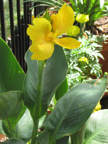 Yellow Canna Blooming