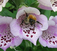 I say (he's an English bee) Do you mind buzzing off with that camera ... I'm awfully busy right now with that little critta down there! (☜✿☞ Bo ☜✿☞) Tags: flower flickr bee explore foxglove haribo magnificent hollyhocks thesting robertredford paulnewman flickrexplore theentertainer supereco theunforgettablepictures canong9 life~asiseeit natureselegantshots allkindsofbeauty awesomeblossoms beautifulsecrets