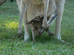 P1030101 (bucktron) Tags: australia kangaroo portmacquarie