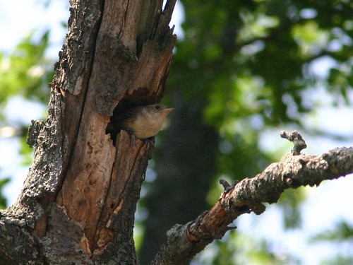 House Wren Exiting Nest