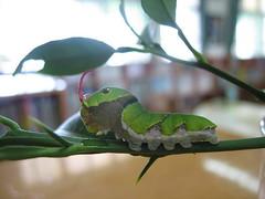黃國揚利用柑橘葉飼養的玉帶鳳蝶幼蟲