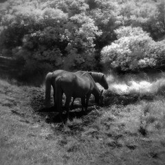 Wild Horses, Holga IR (eye of wally) Tags: ir holga maryland infrared assateague holga120n efke ir820 efkeir820 goldenvisions