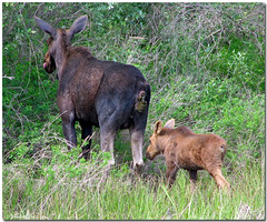 Fire in the Hole (Carplips) Tags: brown moose idaho poop yuck poo calf moosepoop alcesalces deficate mooseabuse