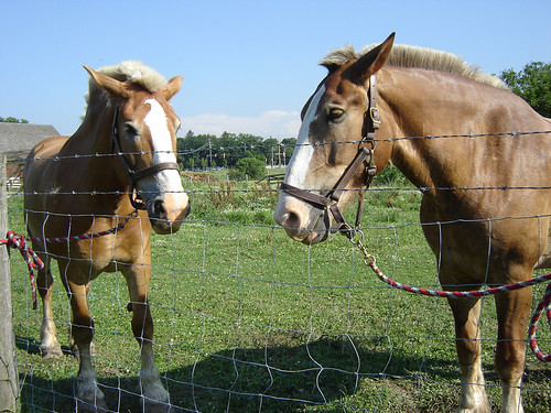 Amish Draft Horses
