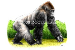 Western Lowland Gorilla (Roger D Hall) Tags: mountain art animal illustration gorilla drawing wildlife endangered beringei
