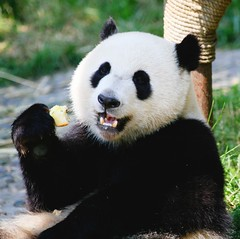 Giant Panda Bear Eating Apples