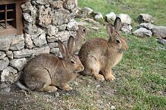 (1scettro-re ) Tags: family rabbit rabbits roger conigli iononlihoincastrati