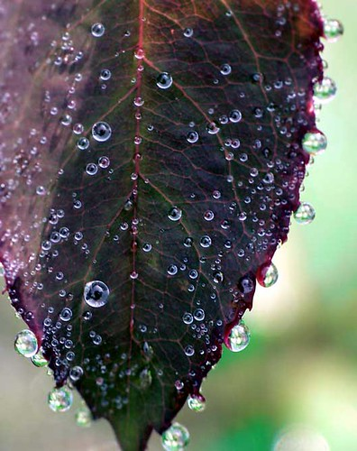 Dew on Rose Leaf