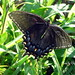 Black Tiger Swallowtail by chippewabear