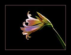 (_Zahira_) Tags: light sun black flower luz sol lafotodelasemana negro flor olympus nd narciso e500 uro espacionegativo 100vistas interestingness474 i500 ltytrx5 ltytr2 ltytr1 ltytr3 ltytr4 unanimidad