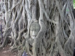 The Buddha Head in Pepal tree (Explore)