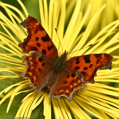 Comma (Chris@184) Tags: canon butterfly insect eos nottinghamshire comma newsteadabbey canoneosd60 d60 insecta polygoniacalbum top20butterflymoth canonef100400mmf4556lisusm top20flowersandbugs top2020 platinumphoto ultimateshot top20butterflies top20everlasting top5butterflies chris184 top20bugsandblossoms
