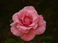 Rosa (FranJa) Tags: espaa spain europa europe gimp rosa olympus valladolid e300 thegimp franja softwarelibre elgimp franja franjav4ll