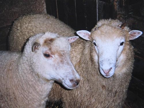 Vanaema lambad