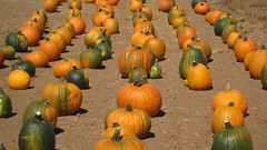Pumpkins IMG_1451.JPG Photo