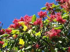 Triplaris cumingiana flowers, ceret Sao paulo Brazil (mauroguanandi) Tags: polygonaceae triplaris mimamorflores awesomeblossoms triplariscumingiana