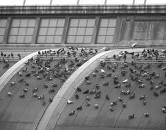 Pigeons (KaDeWeGirl) Tags: newyorkcity rooftop bronx pigeons guesswherenyc nycguessed prozakguessed kingsbridgearmory