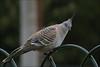 The pigeon (Axemaniac-Art) Tags: bird fence october pentax pigeon australia victoria 2008 bendigo faithfull photofaceoffwinner pentaxk100dsuper k100dsuper pfosilver axemaniac pregamesweepwinner gamesweepwinner