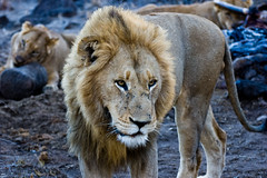 banqueting lions (sausyn) Tags: park blue parco elephant game male female dark southafrica eating leoni lion reserve safari lions banquet leone carcass kruger elefante gamedrive zampa sudafrica sabisand carcase catchycolorsblue leonessa carcassa banqueting mangiano kirkmanskamp