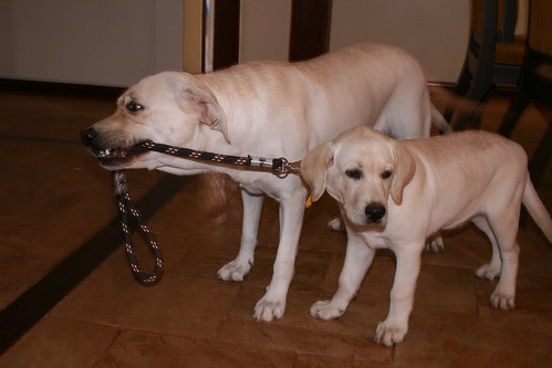 labrador pulling puppy on leash