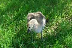 Gosling DSC_0443 (Ron Kube Photography) Tags: canada calgary birds geese nikon goose goslings alberta gosling canadagoose canadageese inglewoodbirdsanctuary southernalberta d80 nikond80 carburnpark ronaldok ronkubephotography