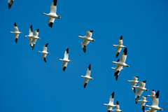 Snow Geese Flyover (mnlamberson) Tags: snowgeese snowgoose chencaerulescens