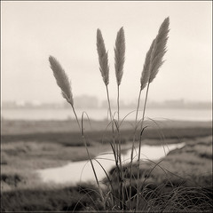 Bay bridge Toll Plaza marsh Tele-rolleiflex APX400 Rodinal 1-50 10min 20C 10-2008 VS 4990 Scan-081026-0006 (rich8155 (Richard Sintchak)) Tags: bw cattails rodinal narrowdof apx400 marshgrass telerolleiflex emeryvillecrescentmarsh