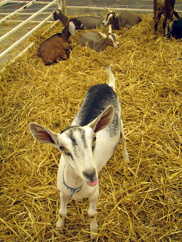 100 Things to see at the fair outtake: Goat pen