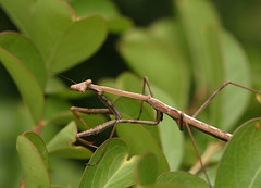 On the Prowl (Greg Miles) Tags: australia nsw prayingmantis mantodea calga
