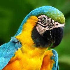 grumpy (tropicaLiving - Jessy Eykendorp) Tags: blue portrait bali orange black green bird eye yellow closeup fauna indonesia geotagged searchthebest bokeh beak depthoffield macaw grumpy 500x500 turqois bluegoldmacaw hbw theunforgettablepictures th