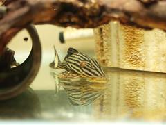 紅翅皇冠豹 (BOX Lin) Tags: 異型 飼養