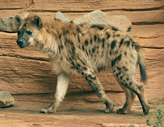 spotted hyena (ucumari) Tags: november sc animal mammal nikon south columbia carolina 2008 hyena riverbankszoo ucumariphotography