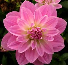 Sweetie (ToJoLa) Tags: pink dahlia macro canon makro 2008 roze bloem abigfave canong9