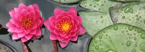 waterlily banner