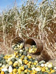 Canon City Corn Maze