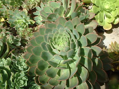 Ae_percarneum_Cazadores_colec_Tomas_20040410 (bramwellii) Tags: grancanaria crassulaceae cazadores aeonium floracanaria
