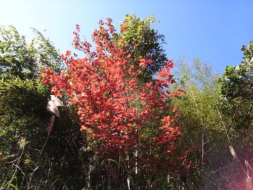 橫龍古道上面的楓葉,開始變紅了