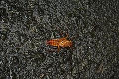 Da Roach (adrian.coto) Tags: bug roach bicho cucaracha