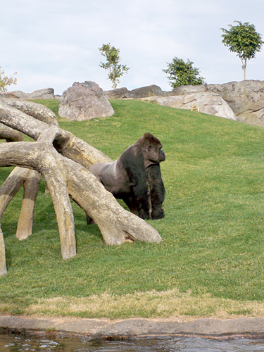 valencia-gorilla