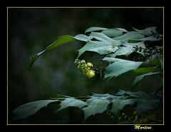 Brave (.MARTINE.) Tags: cold green yellow groen december framed bloom brave geel martine dapper koud diehards bloeien panasonicdmcfz8 flickgolfclub clanflickr sterksten