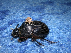 Beetle and daughter (NR_Chebba) Tags: animals insect tunisia tunis beetle tunisie coleoptera bubalus mahdia carabidae scarabaeidae bubas chebba carabe
